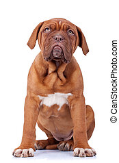 seated french mastiff puppy - picture of a seated french...
