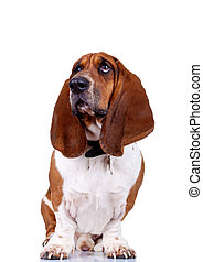 basset hound sitting against high key background and looking...