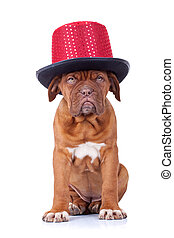 French mastiff wearing a red show hat - Puppy of Dogue de...
