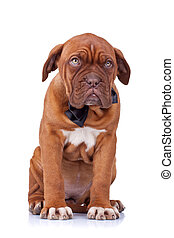 cute french mastiff sitting - cute french mastiff dogue...