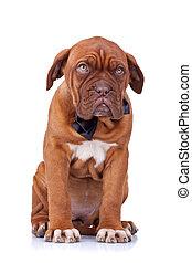 cute french mastiff sitting - cute french mastiff (dogue...