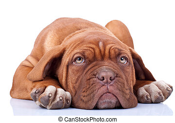tired and cute dogue bordeaux puppy, looking at the camera