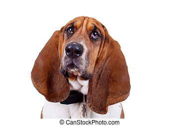 Basset hound dog face close up over white