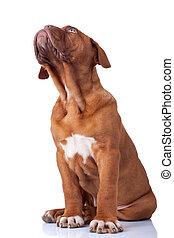 curious french mastiff puppy - cute french mastiff (dogue...