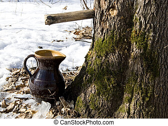 Maple sap flows to pitcher - Maple sap is flowing into the...