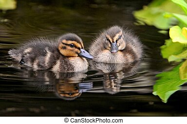 Ducks. - Little ducklings.