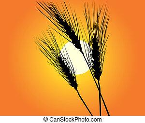 Wheat ears against the orange sky sun