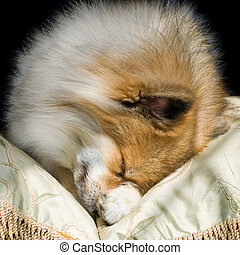 Cute Puppy Curled Up Asleep - Cute Pomeranian curled up...