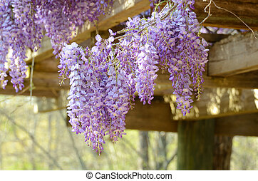 Wisteria - Vines of wisteria hanging off a wood pavillion