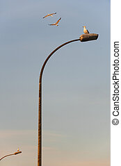 Street lamps with seagulls - Lamposts with seagulls sitting...
