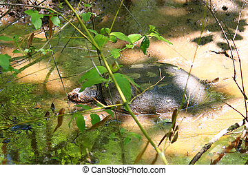 Snapping Turtle Chelydra serpentina - A Snapping Turtle...