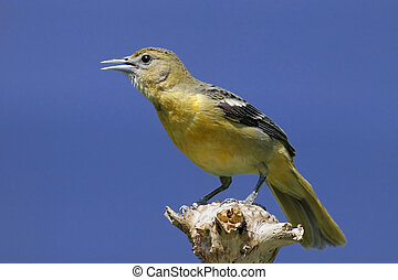 Baltimore Oriole Icterus galbula on a stump with a blue sky...