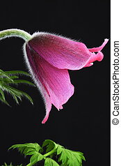 pink pasque flower Pulsatilla on a black background