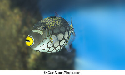Tropical fish -Clown Triggerfish - Tropical fish - Clown...