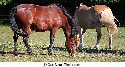 horses brown