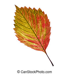 one leaf. It is isolated on a white background.