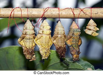 Cocoons (simulated grown up butterflies in reserve)