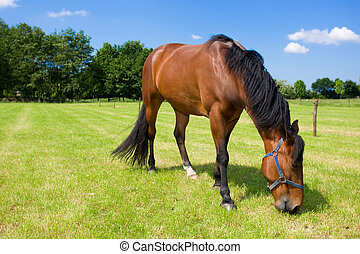 Horse eating grass in ht eopen field.