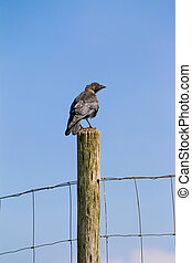 Raven - One raven on a wooden pole.
