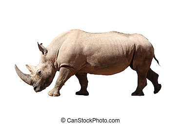 Rhinoceros - A picture of a big rhino standing against white...