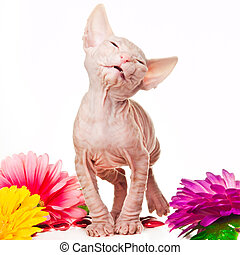 Pink sphinx kitten playing with multicolored flowers