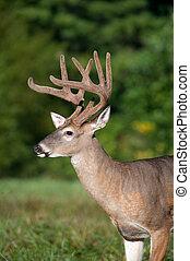 white-tailed deer buck with velvet antlers