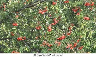 Red ashberry. - Autumn red mountain ash.