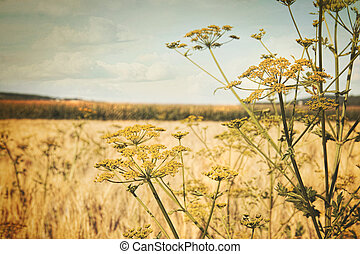 Late summer field of wild dill with vintage look