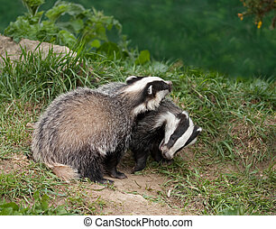 Badger Cubs playing - European Badger Cubs playing in...