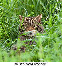 Scottish Wildcat in long grass, peering at camera