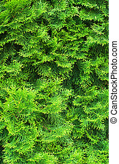 Cypress needles - Evergreen needles of young cypress texture...