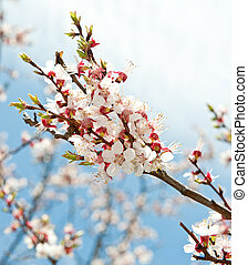 Blossoming branches of a tree. White flowers on a background...