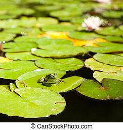 frog sitting on lotus leaves - frog sitting on green leaves...