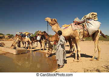 Camels drinking water at watering hole