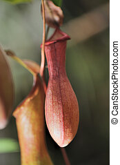 Nepenthes. A sort of insectivorous plants of family...