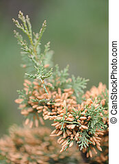 Cypress. A sort of evergreen trees and bushes of family...