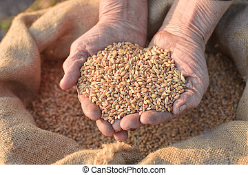 Wheat and hands of the old farmer. Harvesting
