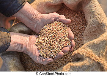 Wheat and hands of the old farmer