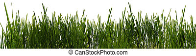 grass is isolated panoramic - The grass is isolated. Fresh...