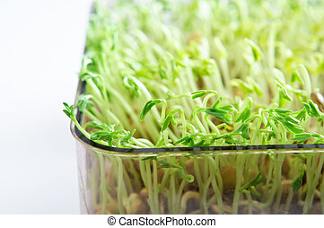 Beansprouts Growing in Tray - Beansprouts close up - a tray...