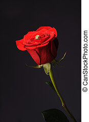 Ring in a red rose wrom black background - Ring in a red...