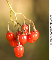 rowanberry A cluster of ripe red berries on the dim...