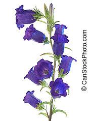 bellflower - Studio Shot of Blue Colored Bellflower Isolated...