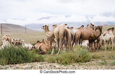 Herd of Bactrian camels in the Altai Mountains on the border...
