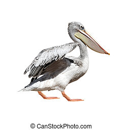 Pelican - A picture of a cute pelican walking over white...