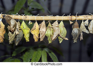 Cocoons simulated grown up butterflies in reserve