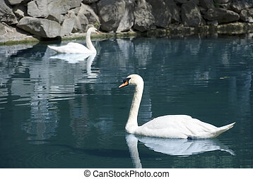 two swans - Wild swans floating in mountain lake (the...