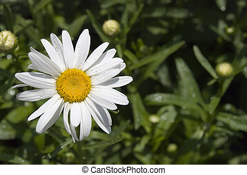Camomile with dew 2 - Camomile with drops of morning dew the...