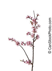 Lovely bright high key immage of Spring blossom tree detail isolated on white