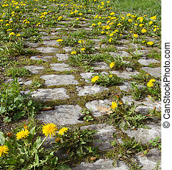 very old cobble-stone road overgrown with dandelion flower